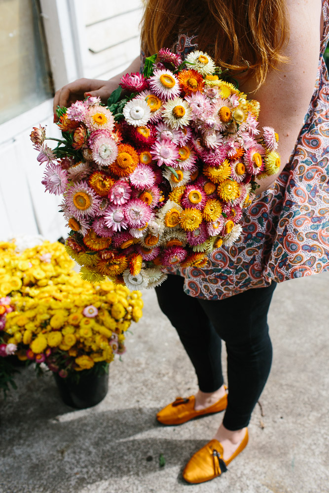 Florist holding a big bunch of colourful strawflowers